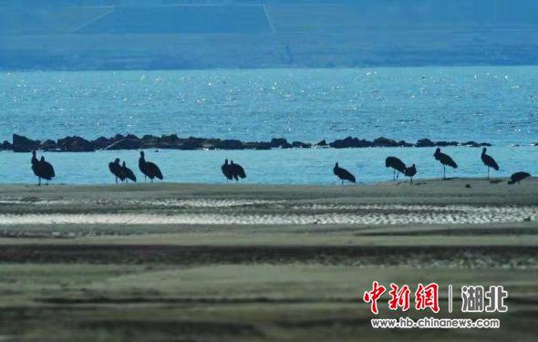天兴洲洲滩越冬的黑鹳 武汉市观鸟协会供图