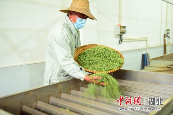朱砂溪专业合作社工人正在对鲜叶进行加工 邹明镇供图
