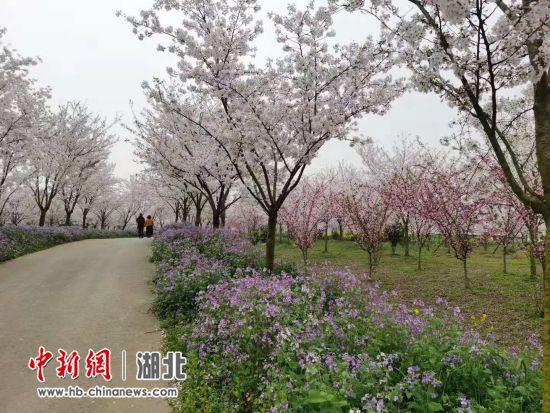 沙洋县曾集镇雷都樱花部落