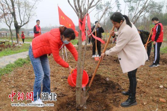 陆配为亲手栽下的樱花树浇水培土 张玉柱 摄