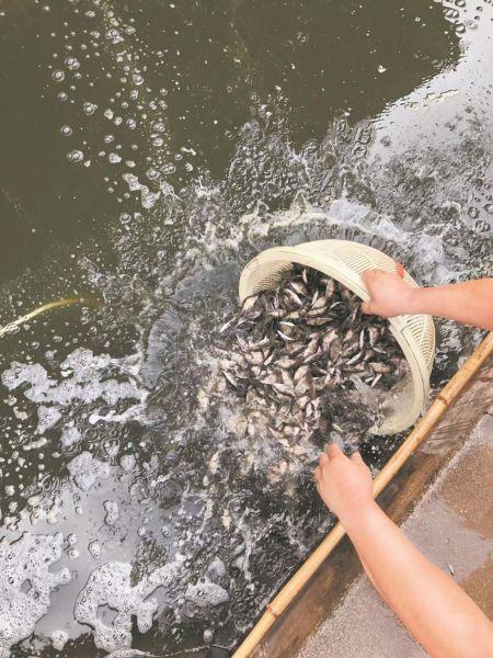 工人捞鳜鱼苗出售