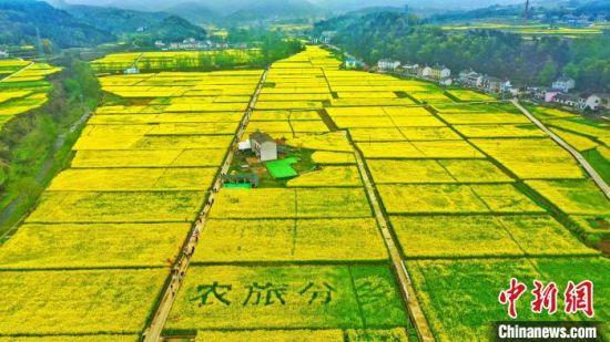 宜昌市夷陵区分乡镇南垭油菜花将大地染成金黄色。 周星亮 摄