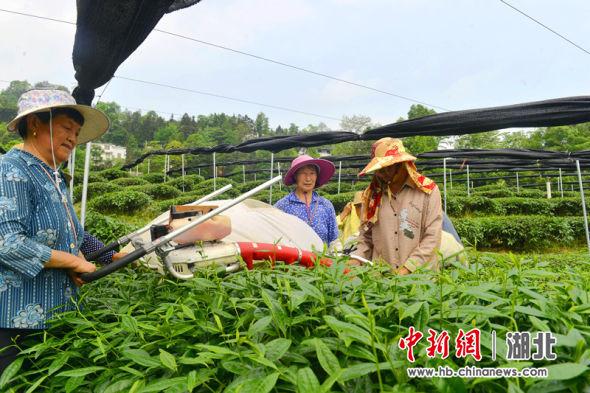 村民正在龙凤镇龙马村采摘抹茶