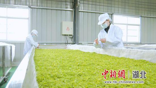 高潮村白茶生产线