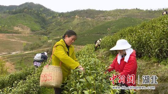村民在高潮村白茶基地采摘新茶