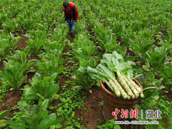 燕子坝村民发展的蔬菜产业 赵盛迷供图