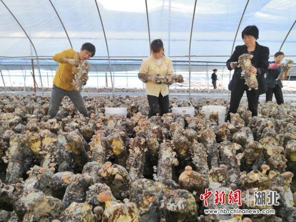 村民在收获食用菌 通讯员供图