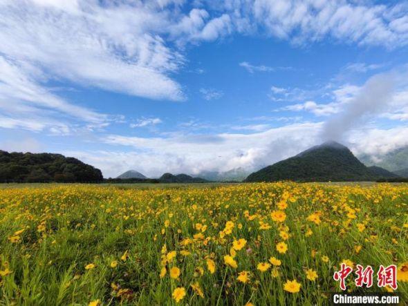 阳光下的野菊花鲜艳夺目。(拍摄于7月20日) 大九湖镇政府供图