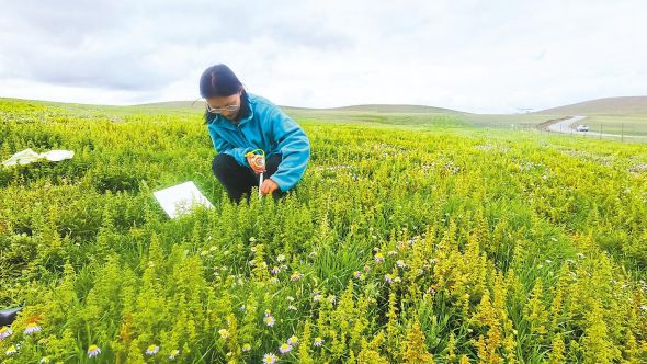 白玛曲珍用钢尺测量补播草种长势情况。