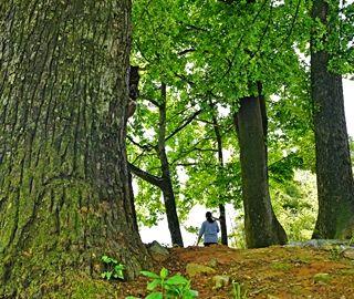 湖北宜都发现300年前古树群落