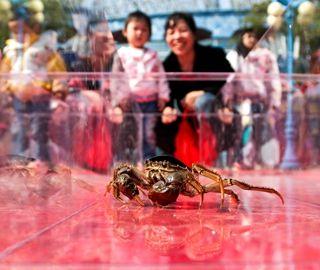 """武汉现螃蟹赛跑比赛 """"蟹将""""争先恐后"""