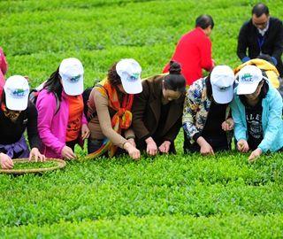 游客齐聚湖北五峰比赛采茶