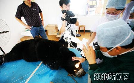 森林野生动物园的瞎眼黑熊接受了眼睛白内障摘除手术