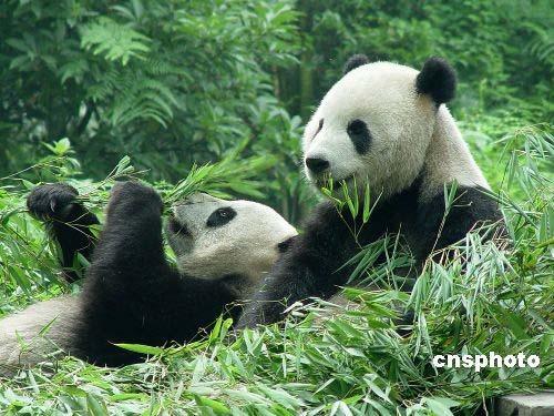 熊猫头像可爱一对