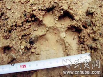 脚印初定为大型猫科动物