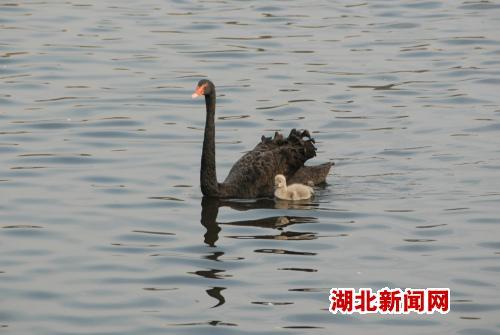 武汉动物园黑天鹅出现