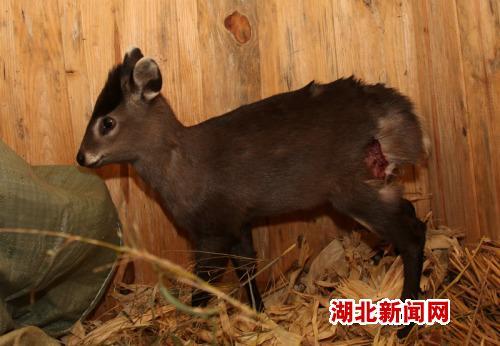神农架成功救助一只国家二级保护动物