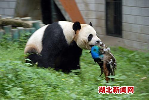 武汉动物园一大熊猫咬死觅食蓝孔雀(图)