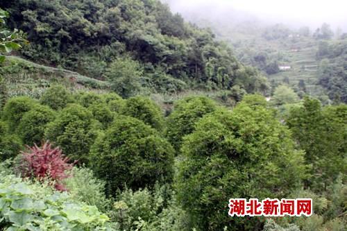 崔邦仕的一处桂花树种植地