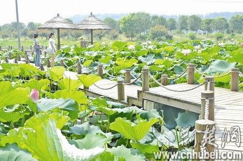 洪湖蓝田生态旅游,每年的旅游收入大大超过了莲藕本身的产值收入