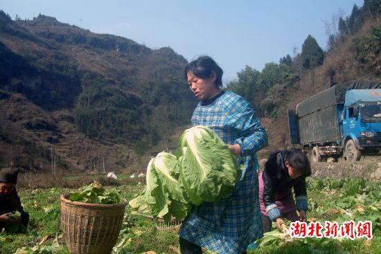 湖北新闻网 来凤县大河镇种植有机蔬菜效益高(图)