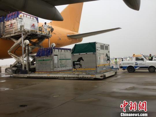 29匹军运会马术比赛用马飞抵武汉