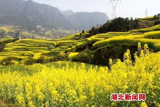 三峡梯田油菜花(8)