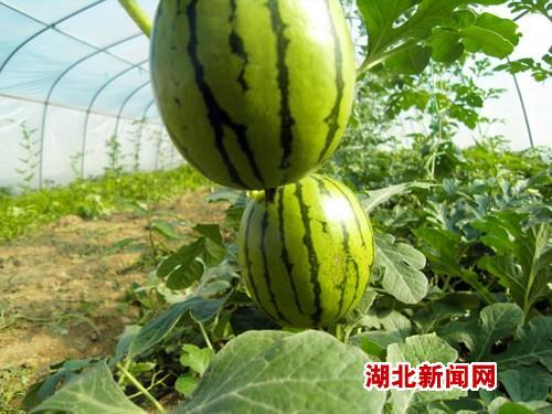 湖北新闻网 新农村 竹溪县水坪镇土地流转种蔬